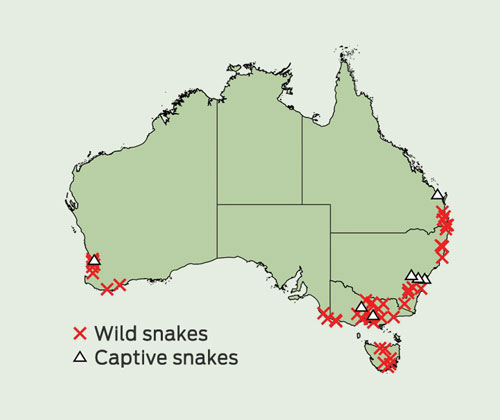Tiger Snake Notechis Spp Envenoming Australian Snakebite Project
