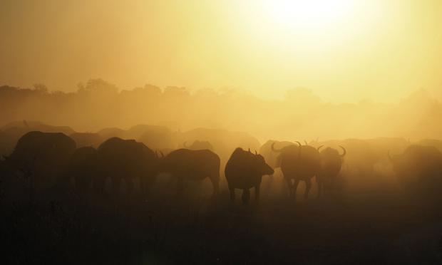 Buffalo at sunset