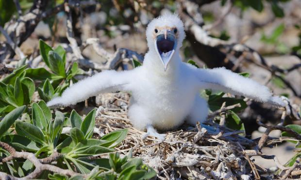 Frigate bird chick begging to be fed