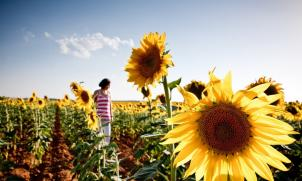 Walking in sunflowers