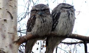 Tawny frogmouth visitors to our garden