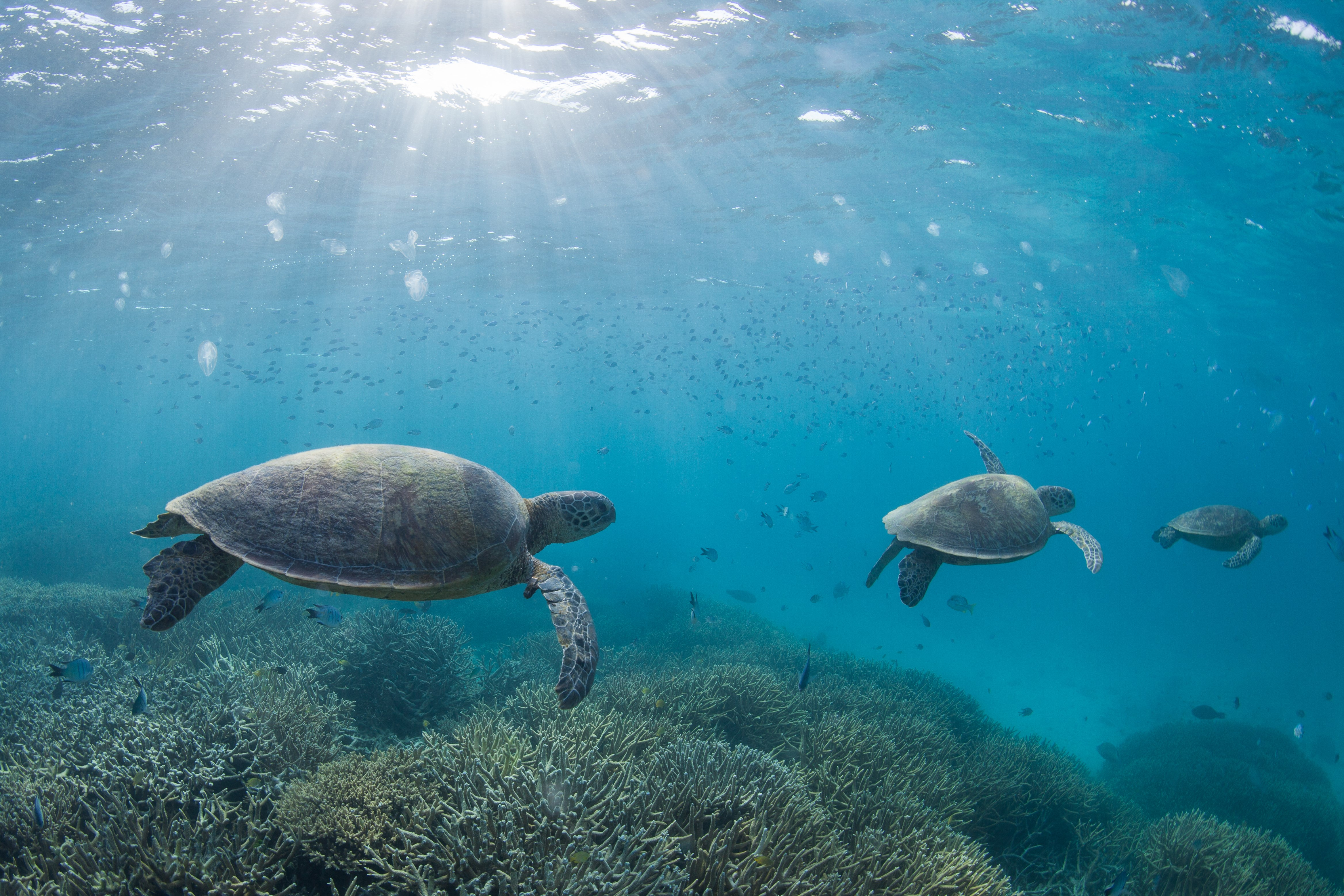 Types Of Email Accounts >> Turtles at Heron Island | The Medical Journal of Australia